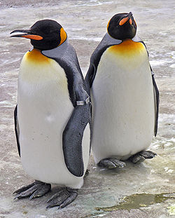 250px-Penguins_Edinburgh_Zoo_2004_SMC.jpg